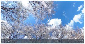 桜並木の写真